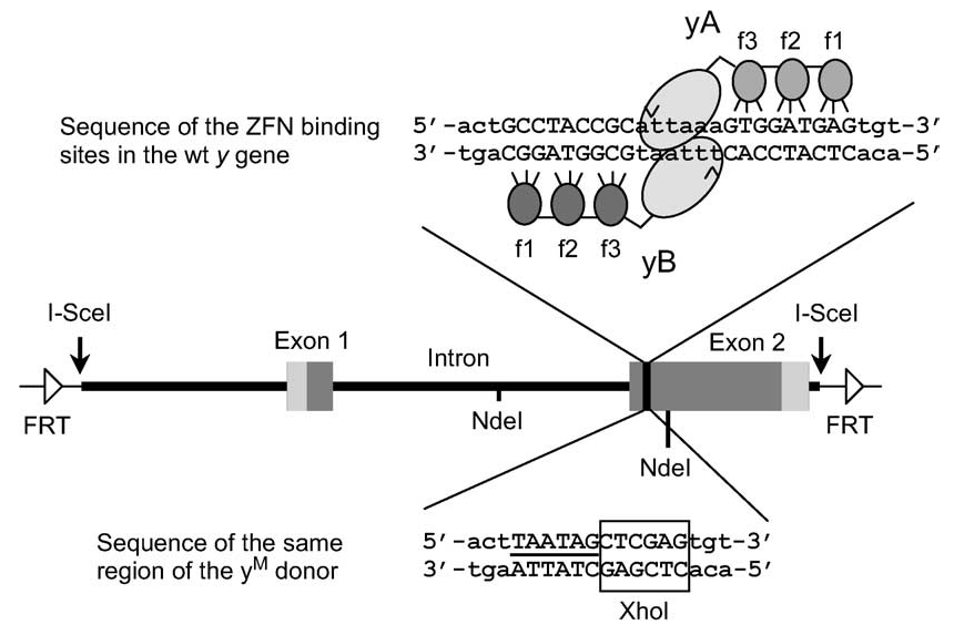 Figure from Beumer et al. (2006). Efficient gene targeting in Drosophila with zinc-finger nucleases. Genetics 172: 2391-2403 depicting zinc-finger nuclease cleavage of the yellow gene and its repair using a transgene template.