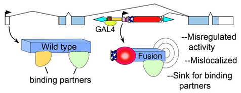 Figure depicting the consequences of intragenic insertion of the Hostile takeover construct originating in Singari et al. (2014), Inducible protein traps with dominant phenotypes for functional analysis of the Drosophila genome. Genetics 196: 91--105.