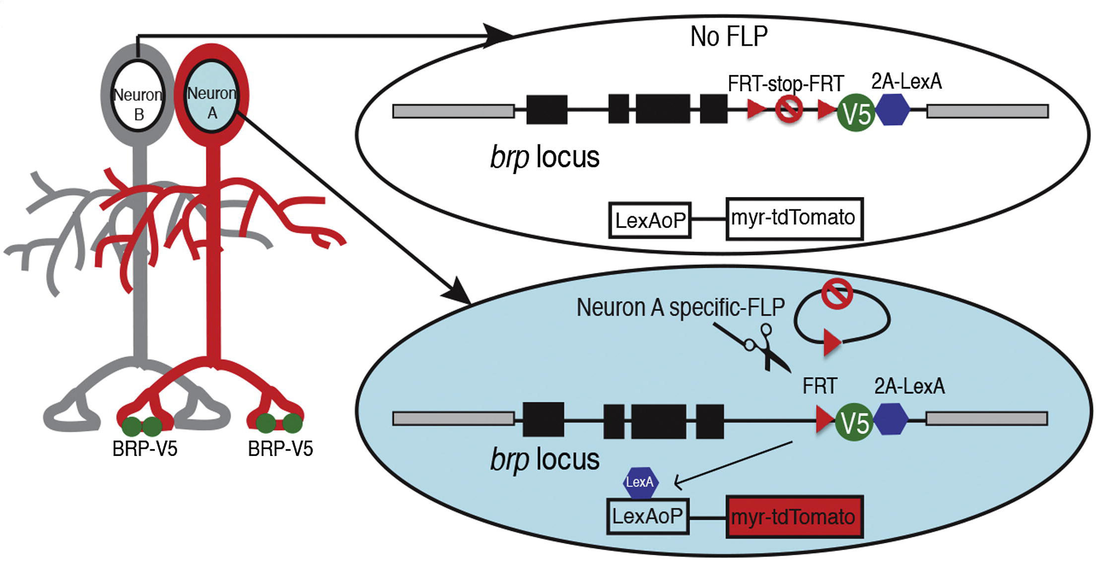 Figure of STaR presynaptic marking from Chen et al. (2013), Cell-type-Specific Labeling of Synapses In Vivo through Synaptic Tagging with Recombination. Neuron 81: 280–293.