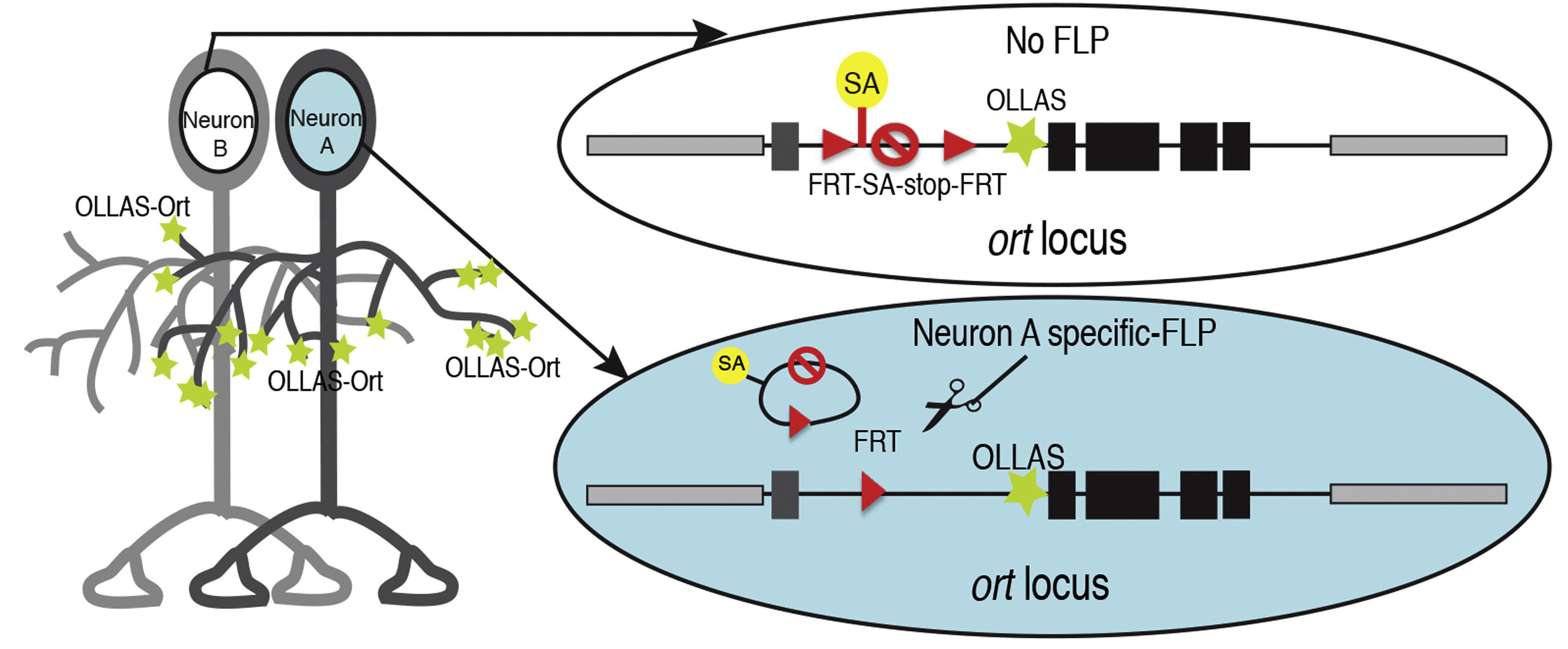Figure of STaR postsynaptic marking from Chen et al. (2013), Cell-type-Specific Labeling of Synapses In Vivo through Synaptic Tagging with Recombination. Neuron 81: 280–293.