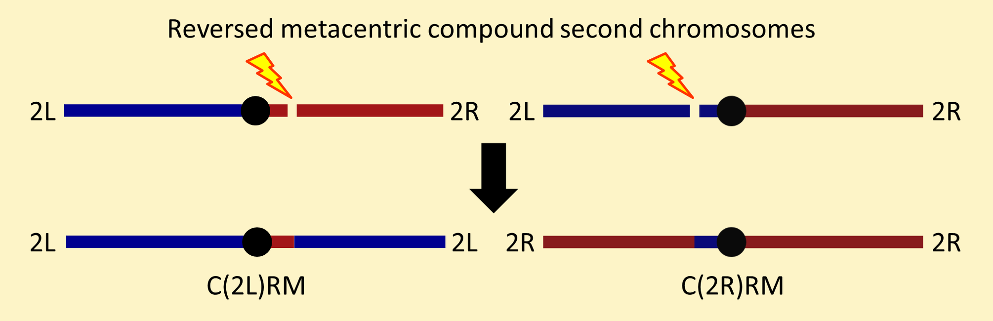 Reversed metacentric compound second chromosomes