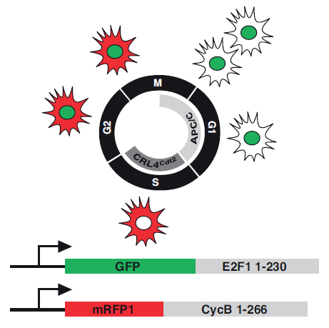 Figure of cell cycle marker expression from Zielke et al. (2014), Fly-FUCCI - a versatile tool for studying cell proliferation in complex tissues. Cell Reports.