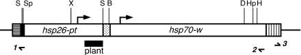 Figure of P{hsp26-pt-T}