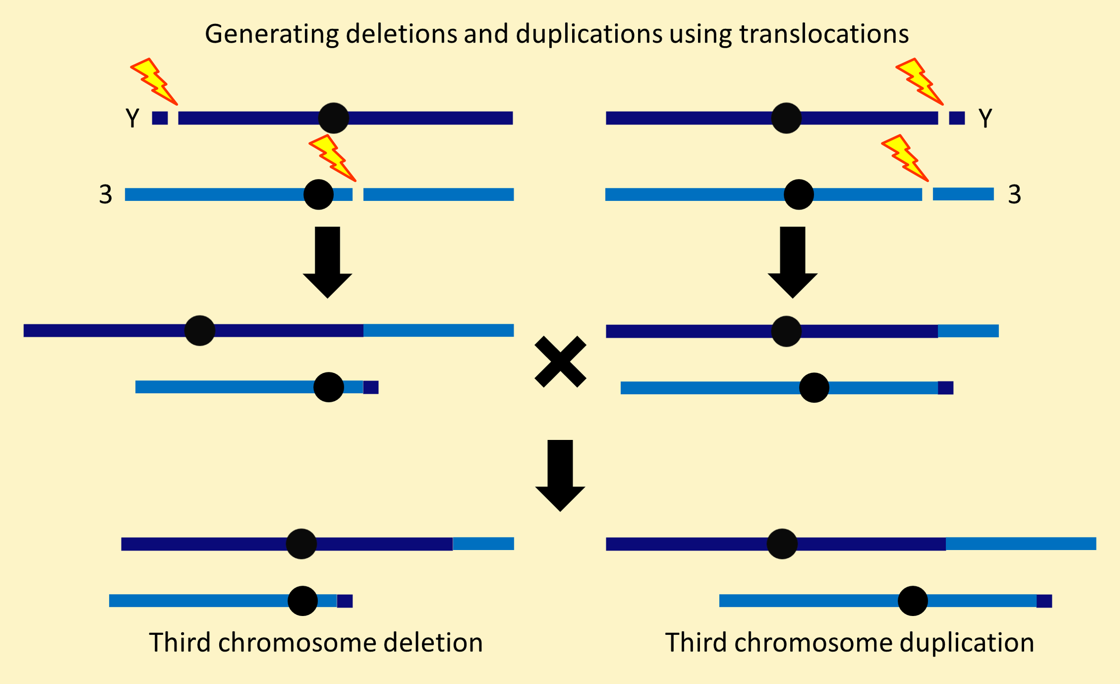 Third chromosome deletion / duplication
