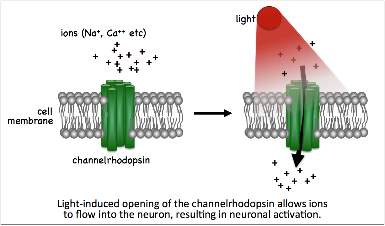schematic of light activating channelrhopsin, causing it to open and ions to flow into the cell.