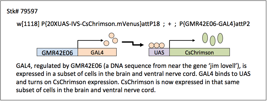 Schematic of GAL4/UAS system used to express channelrhodopsin in subsets of cells.  GAL4 is expressed in subsets of neurons, it then binds to UAS to activate transcription of the channelrhodopsin.