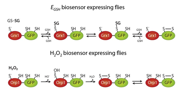 Redox sensor illustration originating in Albrecht et al. (2011), In Vivo Mapping of Hydrogen Peroxide and Oxidized Glutathione Reveals Chemical and Regional Specificity of Redox Homeostasis. Cell Metabolism 14: 819-829