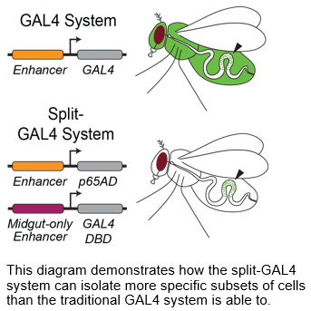 Schematic demonstrating the differences between the UAS-GAL4 system and the SplitGal4 sytem
