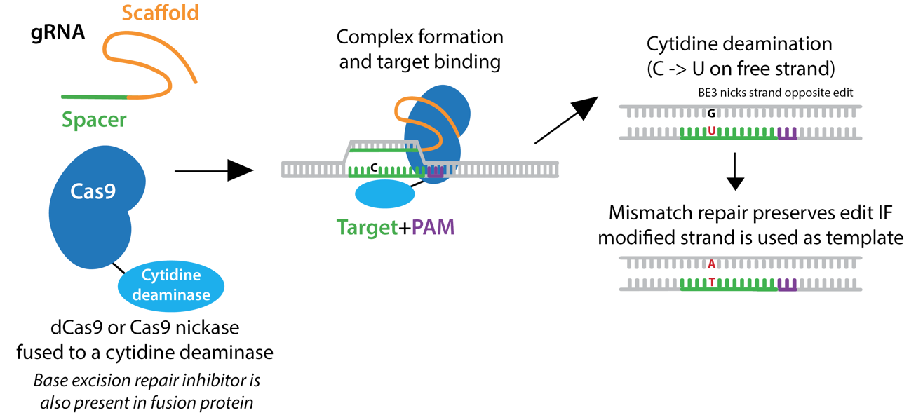 schematic of base-editor bidding DNA, the guide RNA biding target DNA, the deaminase changing C to U followed by repair of the other strand from G to A